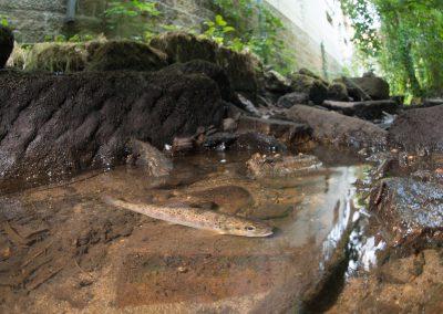 Trockenheit 2018, in der Priesnitz fließt kein Wasser mehr, eine Bachforelle in einer der letzten Pfützen, Dresden, Sächsische Zeitung 7/2018