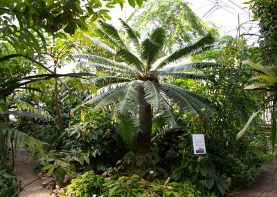 Palmfarn Dioon spinulosum im Botanischen Garten Dresden, Sächsische Zeitung 6/2016