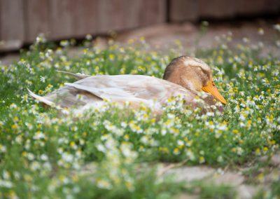 Ente döst in der Kamille