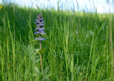 kriechender Günzel blaue Taubnessel Wiese im Frühling
