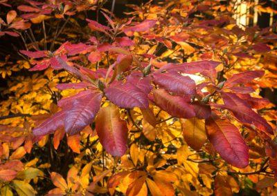 Rhododendron im Herbst
